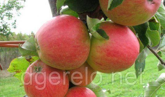 Яблоня Пикколо (осенний)