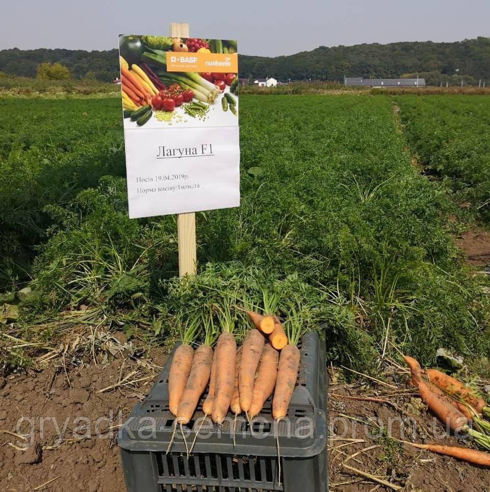 Морковь Лагуна F1 Nunhems 100 000 семян 2,0-2.2