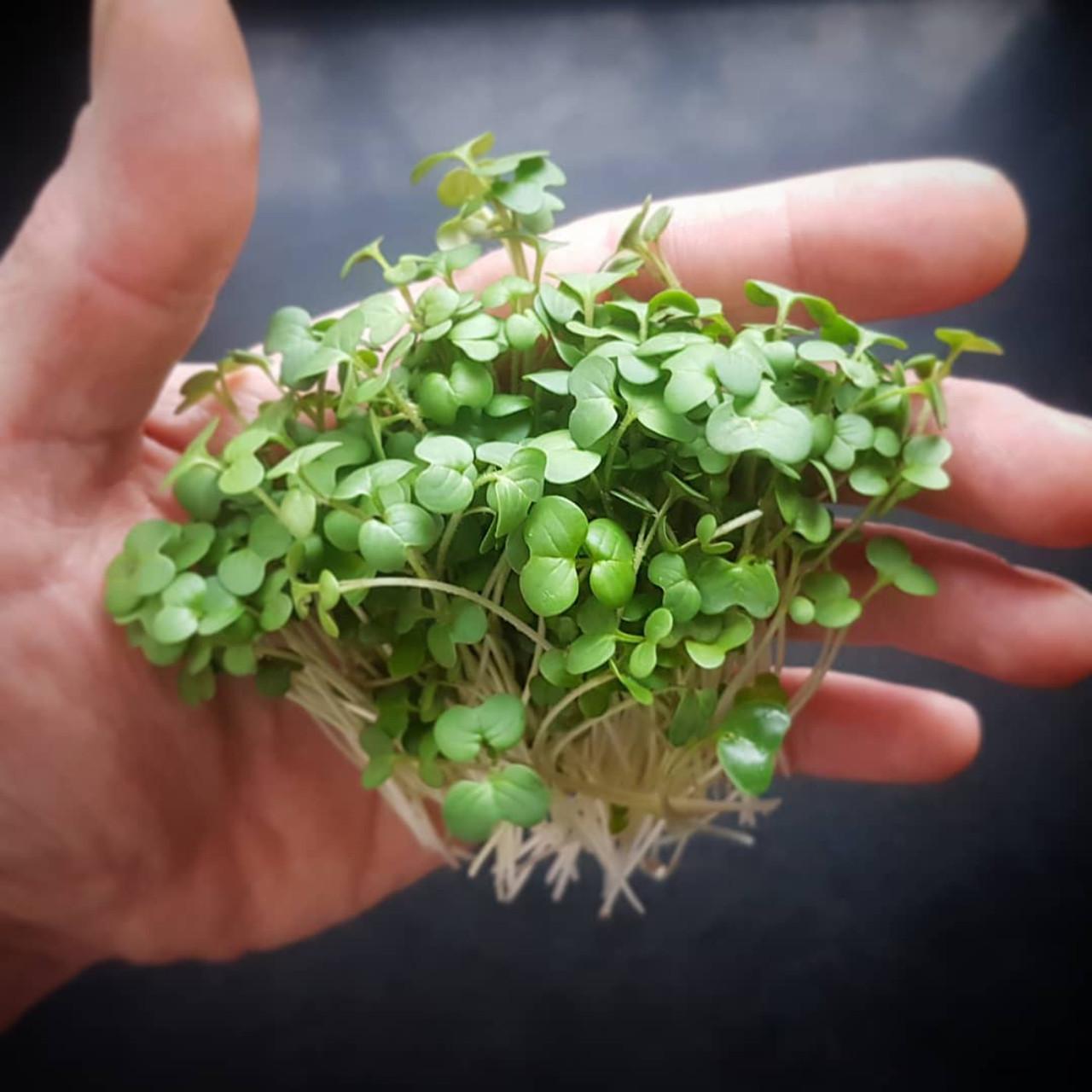 Микрозелень Горчица
