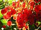 Красная смородина.  Аромавоск, аромамасла, благовония, эфирное масло для аромаламп, фото 5