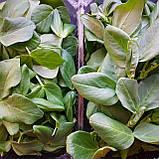 Микрозелень Бобов, фото 2