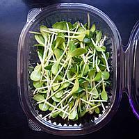 Микрозелень Расторопша, фото 1