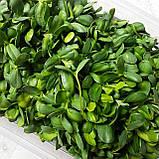Микрозелень Подсолнечник, фото 2