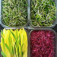 Microgreens / Микрозелень