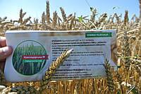 Озимая пшеница Краснодарськая 99, семена от производителя Элитгосп им. Шевченко