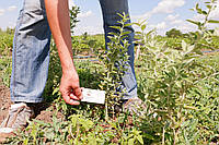 Лох серебристый саженцы (дикая маслина) саджанці Elaeagnus commutata
