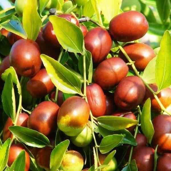 Саженцы Зизифуса Вахшский (привитый) - ранний, среднеплодный, урожайный (унаби, финика, жужуба)