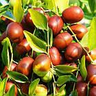Саженцы Зизифуса Коктебель (сеянец) - поздний, крупноплодный. (унаби, финика, жужуба), фото 2