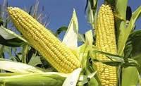 Купить Семена кукурузы  ДКС 2787