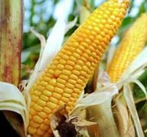 Купить Семена кукурузы ДКС 2870