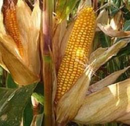 Купить Семена кукурузы ДКС 2971