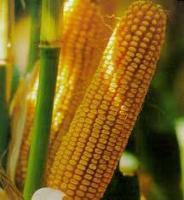 Купить Семена кукурузы ДКС 3476