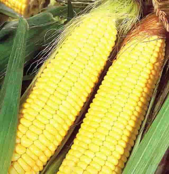 Купить Семена кукурузы ДКС 3717