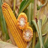 Купить Семена кукурузы ДКС 4943