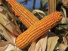 Купить Семена кукурузы Богатырь