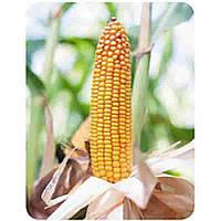 Купить Кукуруза Бейм