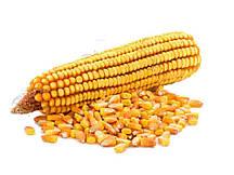 Купить Семена кукурузы Кайфус