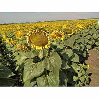 Купить Семена подсолнечника НС-Х-6343