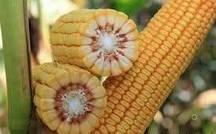 Купить Семена кукурузы КВС 2370