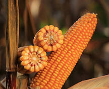 Купить Семена кукурузы КВС 381