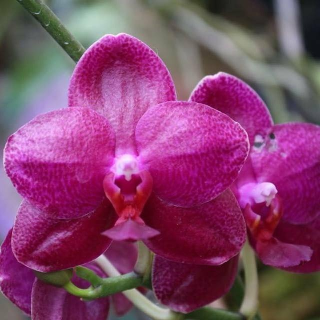 "Орхидеи, размер 2.5"" без цветов Сорт Phal. Sogo grape"