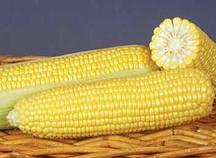 Купить Семена сахарной кукурузы GSS 8529 F1