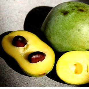 Саженцы Азимины трёхлопостная Трилоба (банановое дерево) - двуполая, морозостойкая, крупноплодная