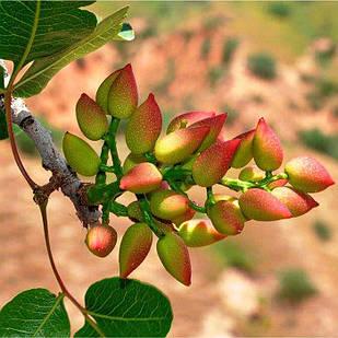 Саженцы Фисташки Горная Жемчужина - крупноплодная, сладкая, неприхотливая