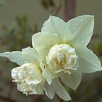 Нарцисс махровая корона White marvel 12/14 3 шт
