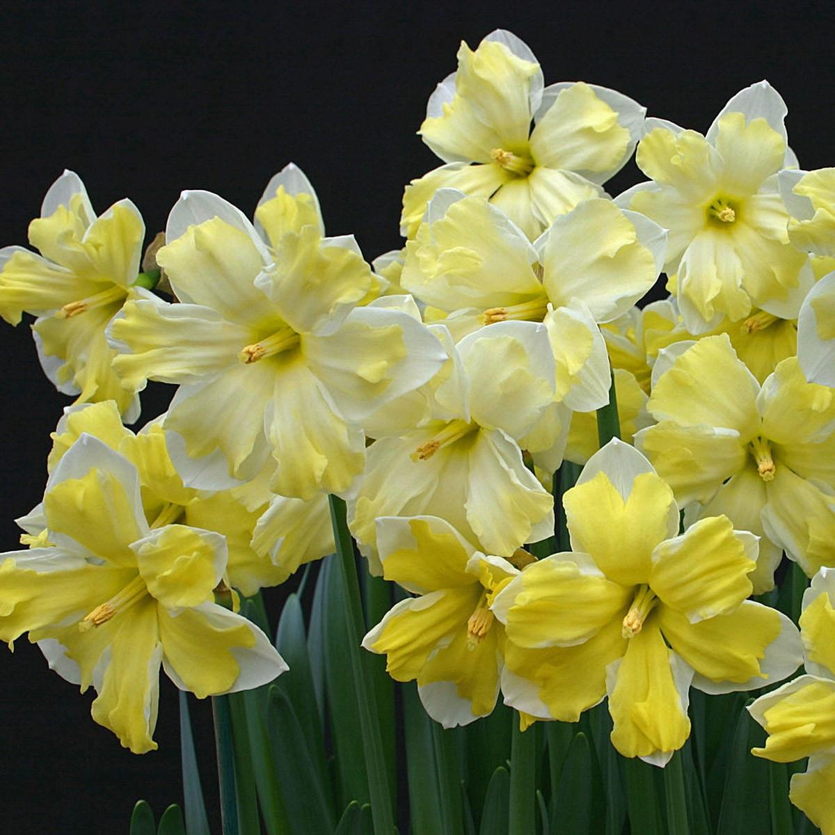 Нарцисс крупноцветковый Cassata 2 луковицы