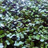 Микрозелень Капуста Краснокочанная, фото 3