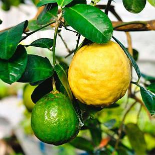 Саженцы лимона Киевский Крупноплодный - ранний, очень крупный, урожайный