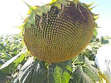 Семена подсолнечника ЕС Террамис СЛ под Евролайтинг.