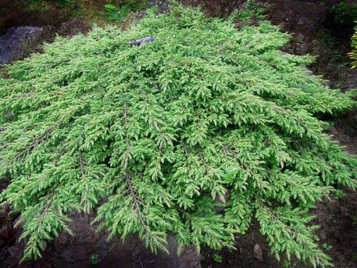 """Можжевельник """"Green Carpet"""", (d 20-30 cm)"""