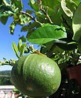 "Бергамот Фантастика (Citrus bergamia Risso ""Fantastico"") 20-25 см. Комнатный"