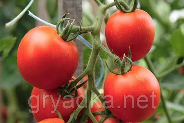Томат Айвенго F1 индетерминантный Rijk Zwaan 1000 семян
