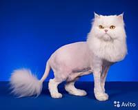 Стрижка персидских котов