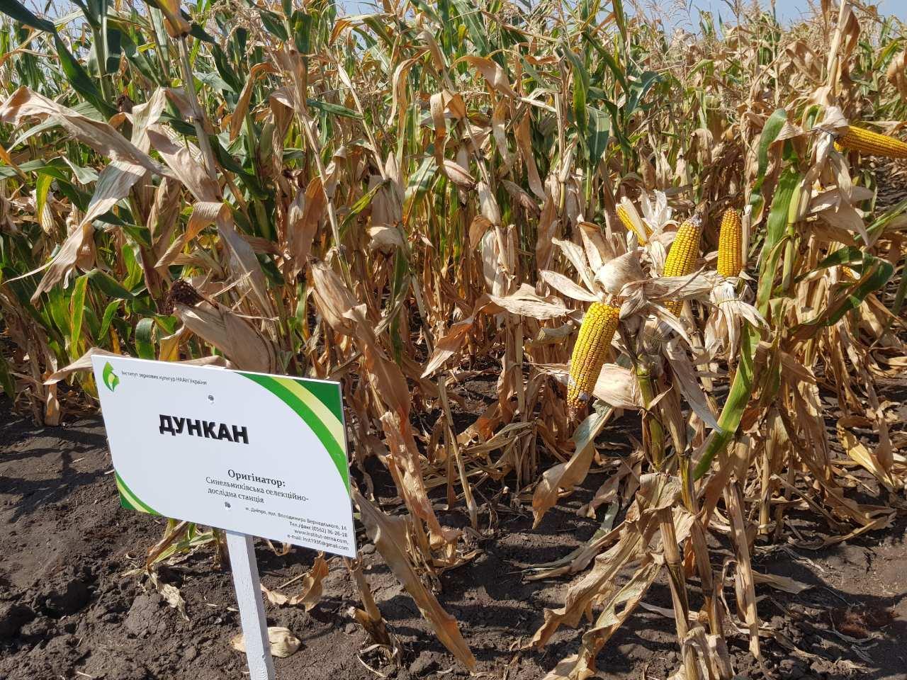 Насіння кукурудзи Дункан, ФАО 270