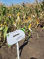Насіння кукурудзи Жетон, ФАО 260