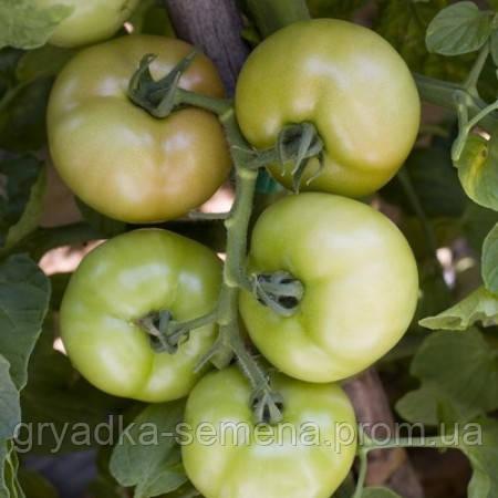 Томат Логур F1 индетерминантный Rijk Zwaan 100 семян