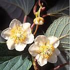 Саженцы Киви Соло - средний, самоплодный, морозостойкий, фото 2