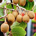 Саженцы Киви Соло - средний, самоплодный, морозостойкий, фото 3