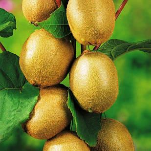 Саженцы Киви Соло - средний, самоплодный, морозостойкий