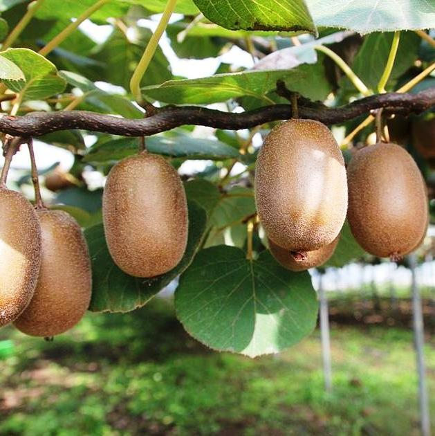 Саженцы Киви Хейворд - самоплодный, крупноплодный, высоко морозоустойчивый