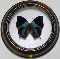 Сувенир - Бабочка в рамке Memphis philumena xenica. Оригинальный и неповторимый подарок!