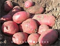 Семенной картофель 1-й репродукции Голландия (Инфинити)