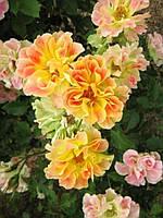 Роза Пур Каприз (Pur Caprice, Chameleon) Шраб