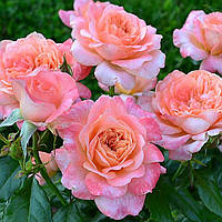 Отдушка Роза 10 мл