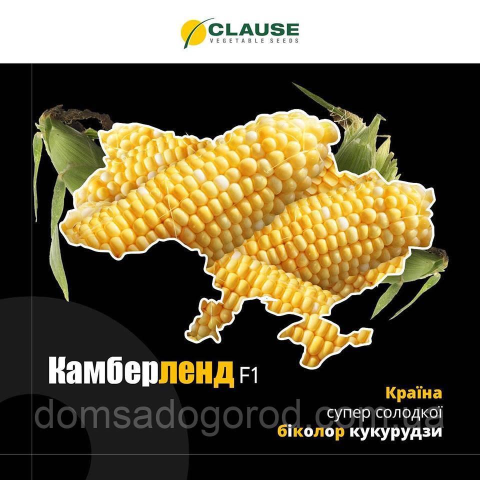 Кукуруза КАМБЕРЛЕН F1 | KAMBERLEN Clause 5000 шт
