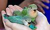 Как научить разговору попугая?